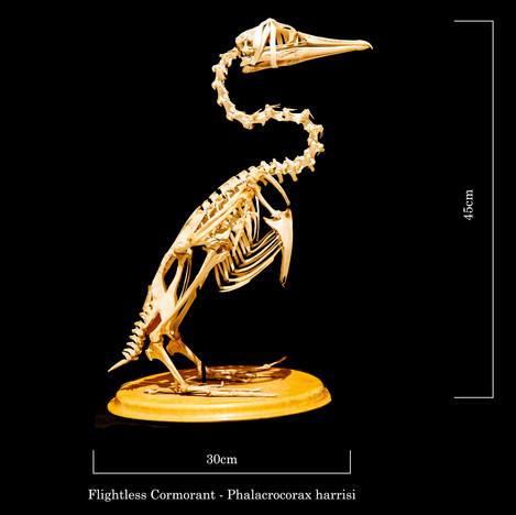Flightless cormorant 6906.jpg
