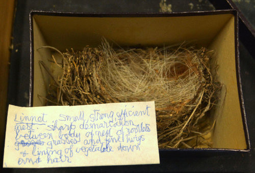 Linnet nest in a box with handwritten note by child, someone who broke their good arm, or was leaning on a brick wall to write