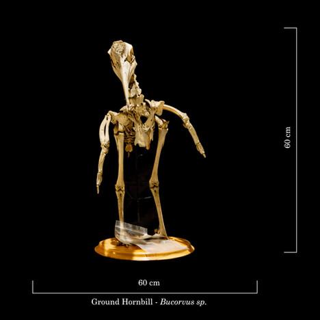 Ground Hornbill 9256.jpg