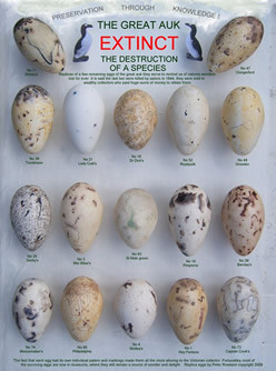 Great Auk egg reproductions