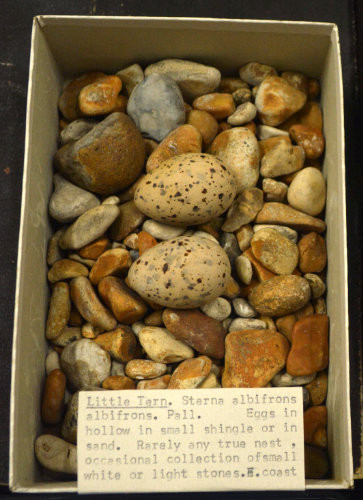 a box of seashore pebbles with two well camouflaged bird eggs and a note describing it as a little tern nest