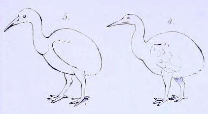 Sketch of rodrigues rail bird