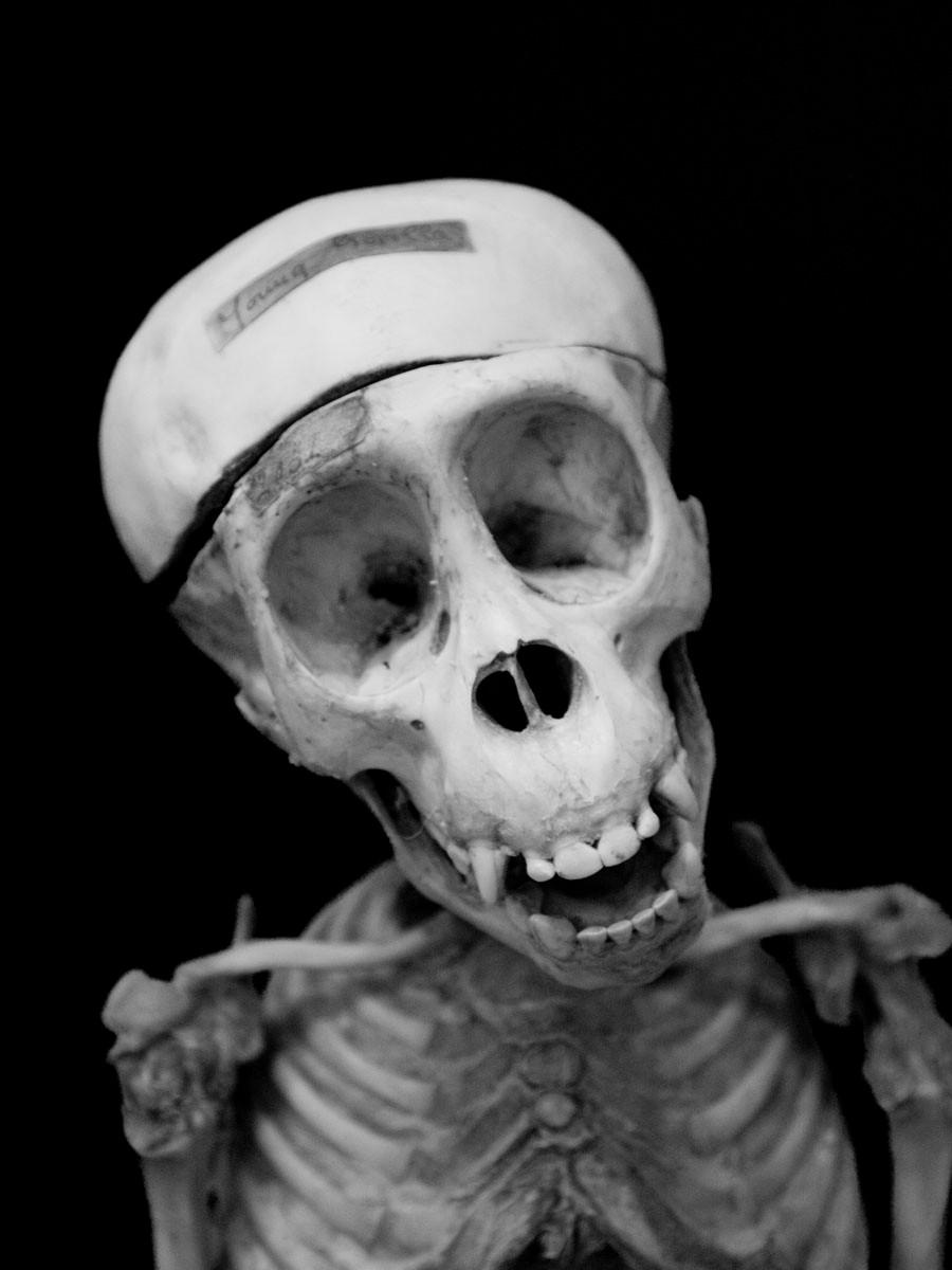 immature gorilla skull