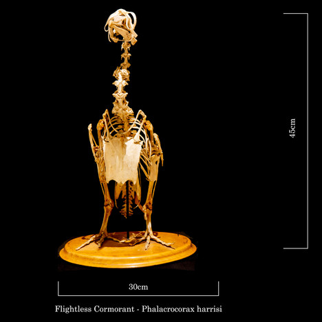 Flightless cormorant 6914.jpg