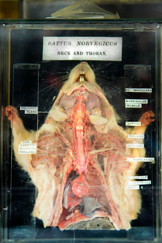 Rattus Norvegicus - Rat - dissected. Courtesy of Oxford University Museum of Natural History