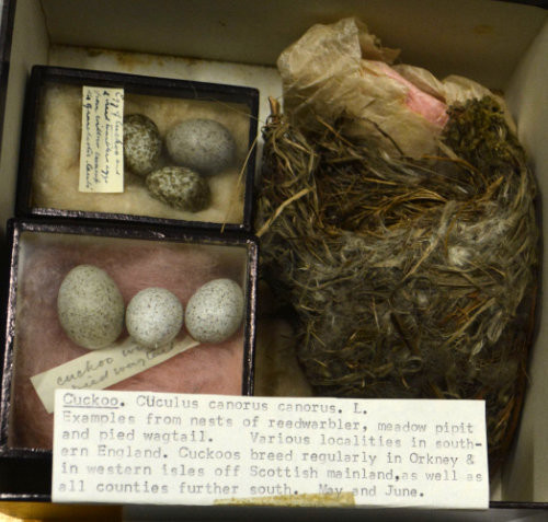 A nest and two boxes of eggs with a note describing collecting these examples of cuckoo nesting and eggs