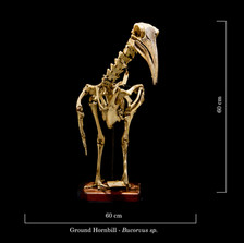 Ground Hornbill 9240.jpg