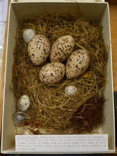 Oysercatcher nest with 4 eggs, and a number of limpet shells incorporated into the nest margin as decoration