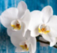White orchid flower on blue wooden backg