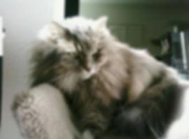 Blue classic tabby Siberian Cat