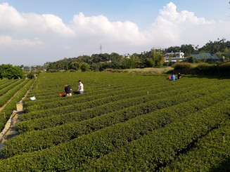 tea farm-1.jpg