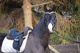 Staatsprämienstute -  4 J. - 168 cm - Dressurpferde A Siegreich - Quaterman x Lord Fantastic