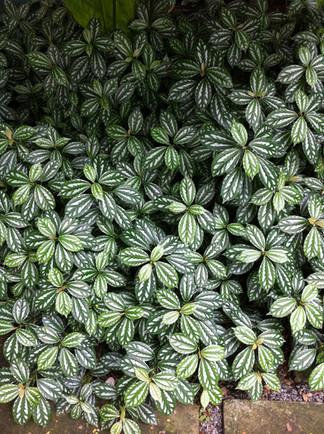 Brazilian plants