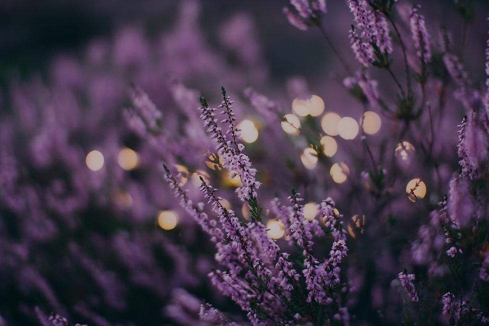 Lavender%20flower%20bed%20in%20the%20evening_edited.jpg