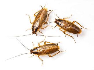 German-Roach.jpg