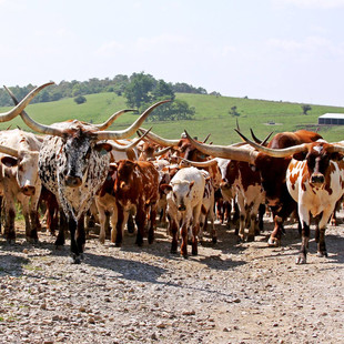 Dickinson Cattle Ranch