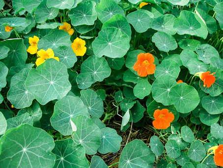 Move Over Kale Chips And Make Way For Nasturtium Chips!