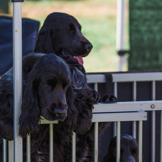 Cocker spaniels at Pawsitive Steps 2019