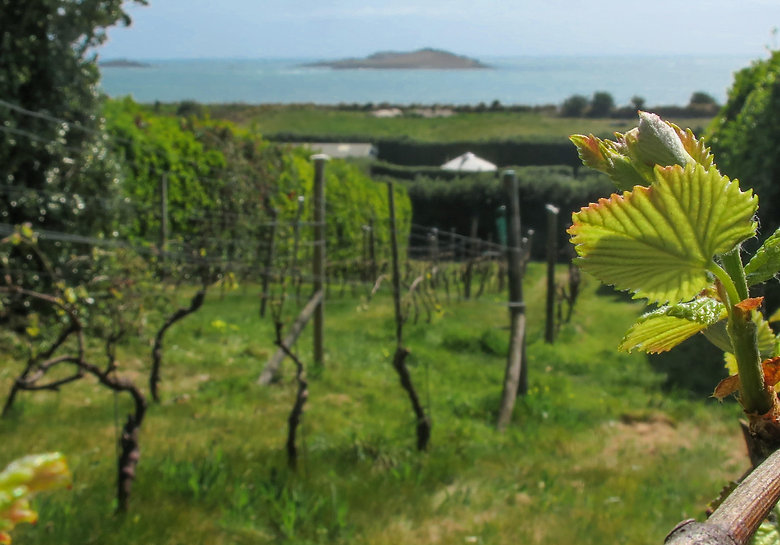 Vine leaves freshly burst with a view down the slope of the vineyard on St Martin's with the sea and the Eastern Isles in the background
