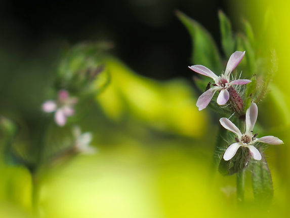Light pink flowers of small-flowered catchfly with a blurred green background