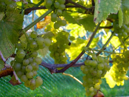 White grapes ripening in dappled sunlight beneath vine leaves