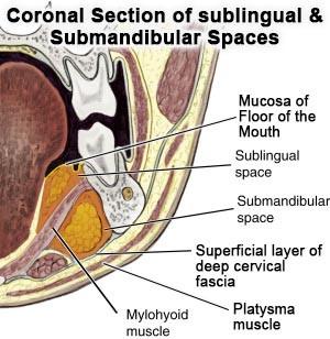 Sublingual & Submandibular Spaces - coronal section