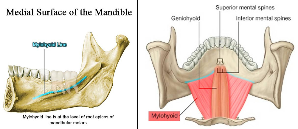 Mylohyoid muscle originates from the mylohyoid line at the medial surface of mandible and inserts at the superior border of the body of hyoid bone.