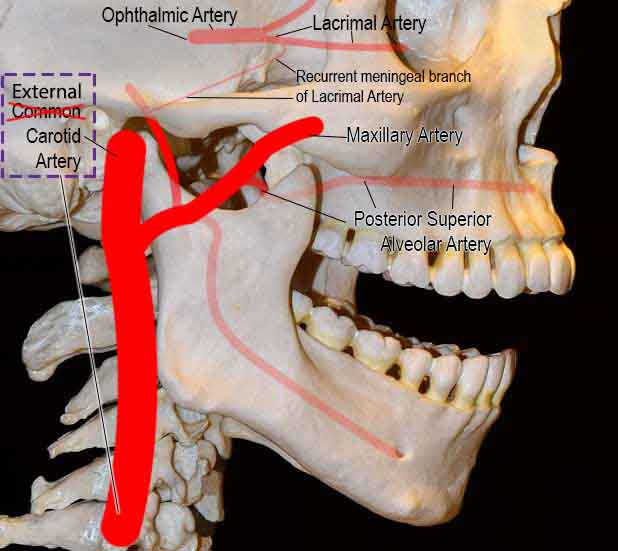 Guys. After i had published the article, i realized that i have made a mistake in some pics. Maxillary artery branches from External Carotid artery & not Common Carotid artery. External carotid artery branches off from Common Carotid artery.