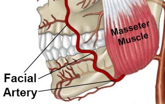 Facial Artery curves upwards over the body of the mandible in the first & second molar region