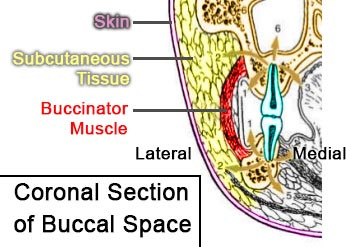 Buccal Space - coronal section