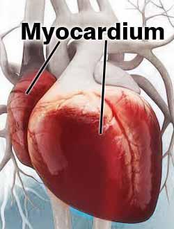 Myo-muscle and cardium-related to heart. Hence the name, Myocardium.