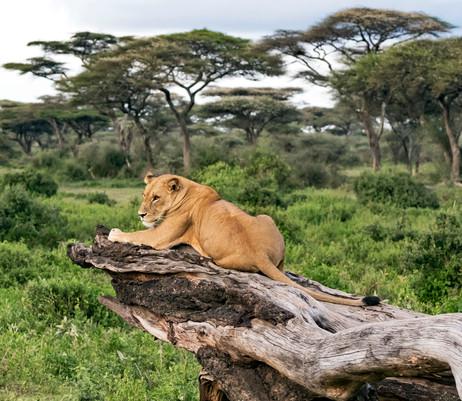 Lion surveying kingdom
