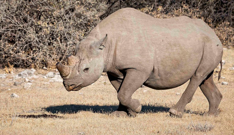 _Y5A4319 Etosha rhino in morning light w