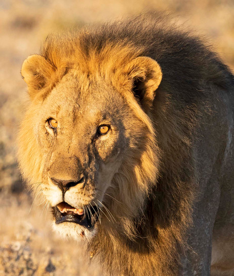 _Y5A3927 Male lion in golden light tight
