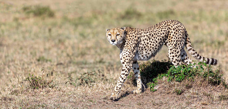 Cheetah on the prowl