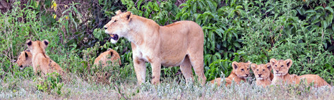 Lioness with cibs
