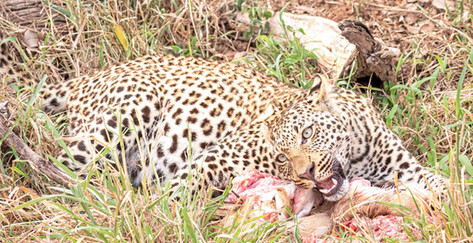 _Y5A2154 Young male leopard on a kill we