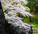 Cherry Blossoms near moat.jpg