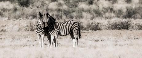 Zeebras in Namibia