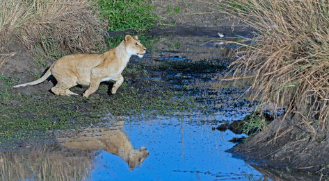 Lion jumping water