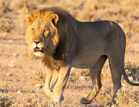 _Y5A3924 Male lion in golden light web r