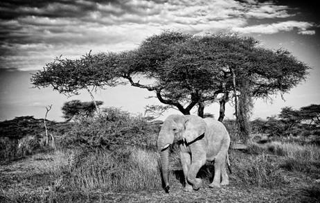 Elephant in B&W