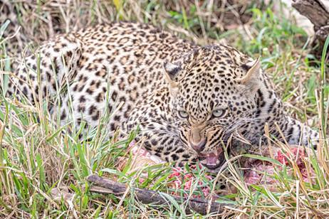 Leopard protecting kill