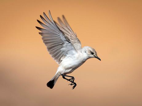 _Y5A2210 Trac-Trac Chat bird web ready W