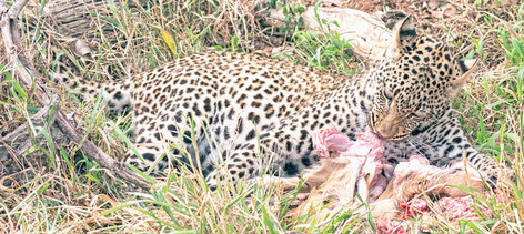 _Y5A2142 Young male leopard on a kill we