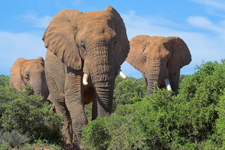 Elephants coming through brush