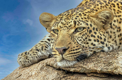 _MG_5630 Leopard resting on a rock 90D 1