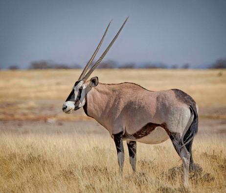 _Y5A3033 Lone Oryx on the plains web rea