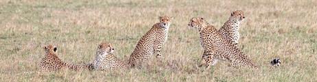 Fab/fast 5 cheetah brothers