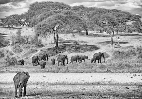 Elephants in B&W